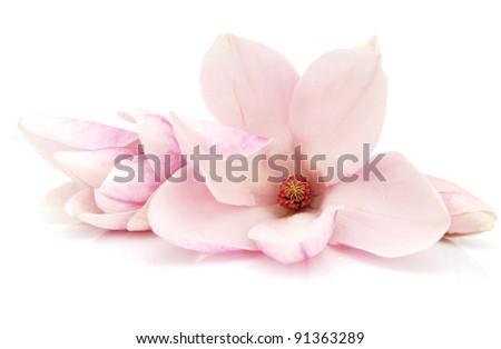 A springtime of magnolia flowers - stock photo