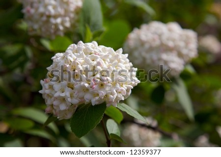 A springtime viburnum blossoming in the garden... lots of flowers in a snowball shape. - stock photo