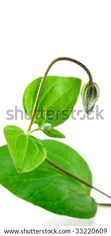 A sprout isolated on a white background - stock photo