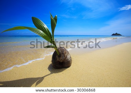 A sprouting coconut washes up on the shore of a tropical beach in Hawaii - stock photo