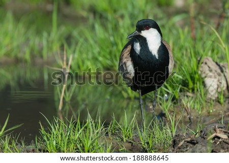 A Spur-Winged Lapwing (Vanellus Spinosus) before - stock photo