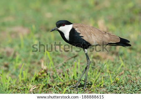 A Spur-Winged Lapwing (Vanellus Spinosus) in a grassy field - stock photo