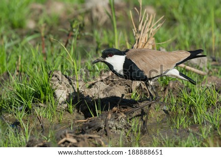 A Spur-Winged Lapwing (Vanellus Spinosus) taking a careful step in the marsh - stock photo