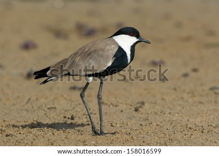 A Spur-Winged Plover standing on the mud flats at low tide. - stock photo