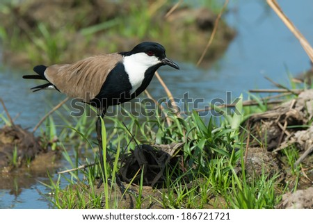 A Spur-Winged Plover (Vanellus Spinosus) on alert on a grassy bank - stock photo