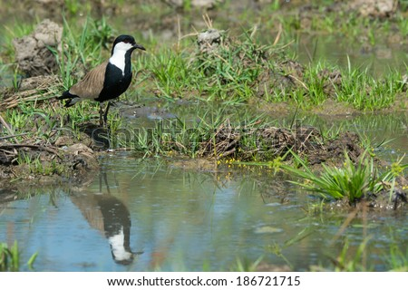 A Spur-Winged Plover (Vanellus Spinosus) reflected in a pond lined with grass - stock photo