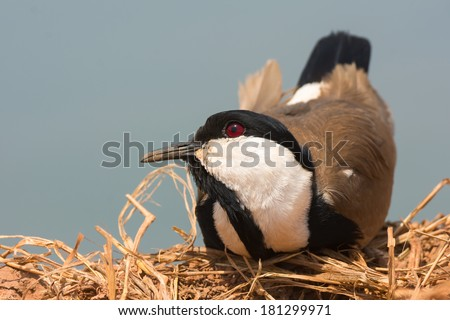 A Spur-Winged Plover (Vanellus Spinosus) resting with its head cocked up - stock photo
