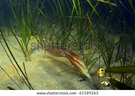 A squid captures a small shiner perch. - stock photo