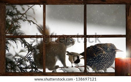A squirrel, chickadee, and starling bird perched on a cedar branch together during a terrible snowstorm, seen through a farmhouse window with a Christmas candle burning, inside. Part of a series. - stock photo
