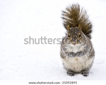 A squirrel during winter. - stock photo