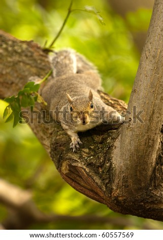A squirrel in a tree looking directly at the viewer - stock photo