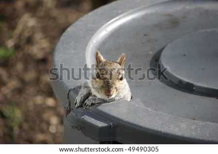 A squirrel peeking out of the the hole he gnawed in the trash can