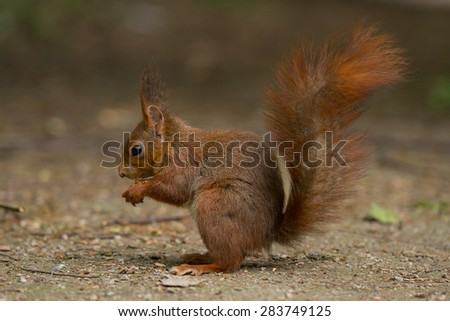 A squirrel sitting on a sidewalk and eating a nut