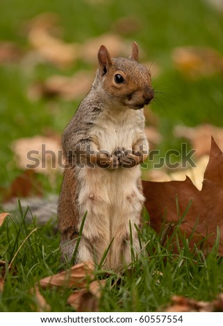 A squirrel sitting up on its hind legs on grass, surrounded by autumn leaves - stock photo