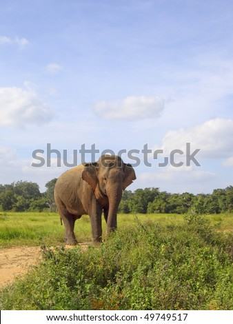 a sri lankan elephant on a sandy track in wasgomuwa national park