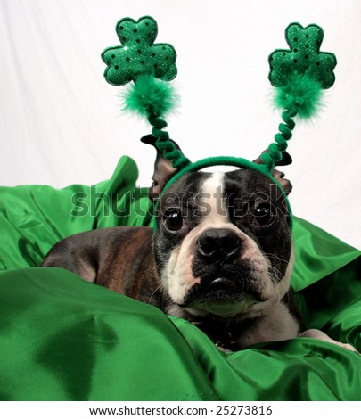 A St. Patrick's Day photo of a cute Boston Terrier. - stock photo