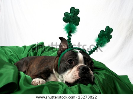 A St. Patrick's Day photo of a very cute Boston Terrier. - stock photo