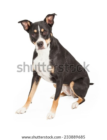 A Staffordshire Bull Terrier Mix Breed Dog sitting at an angle while looking at the camera. - stock photo