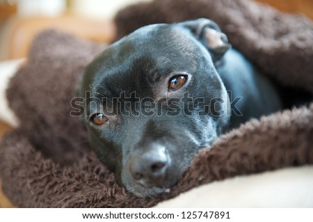 A staffordshire bullterrier wrapped up in a dog blanket - stock photo