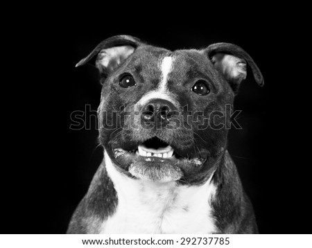 A staffordshire portrait in black and white. - stock photo