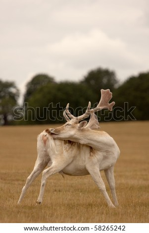 A stag deer grooming itself whilst standing - stock photo
