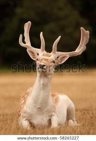 A stag deer with antlers, sitting in short grass - stock photo