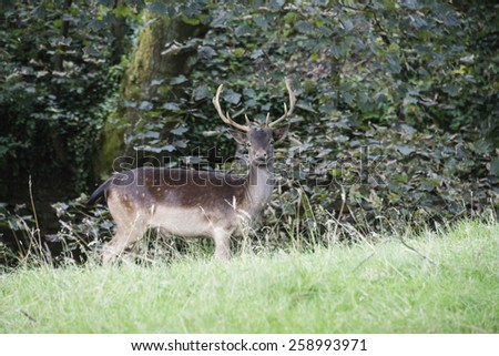 A stag standing in a field
