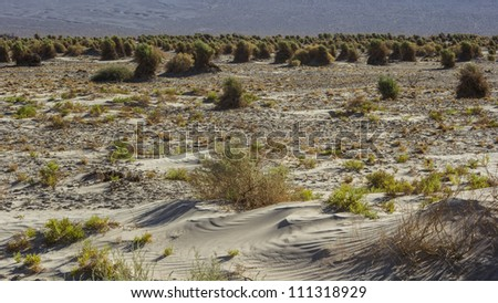 A stalk of plant in the Devil's Cornfield in Death Valley National Park, California - stock photo