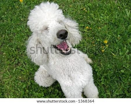 A standard poodle appreciates a good joke - stock photo