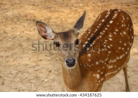 A Standing Brown Sika Deer - stock photo