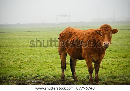 A standing curly haired cattle