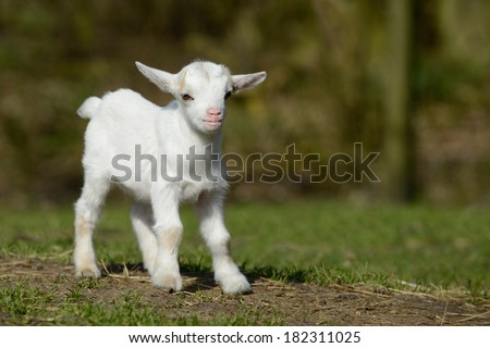 a standing goat kids - stock photo
