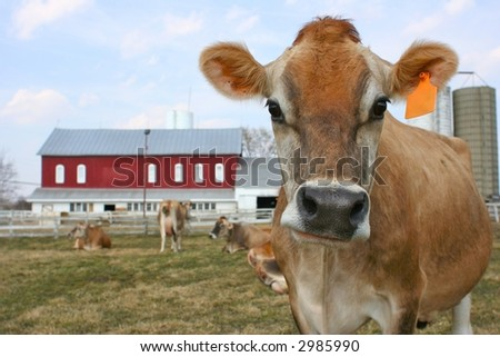 A standing jersey cow with an orange ear tag in front of the barn