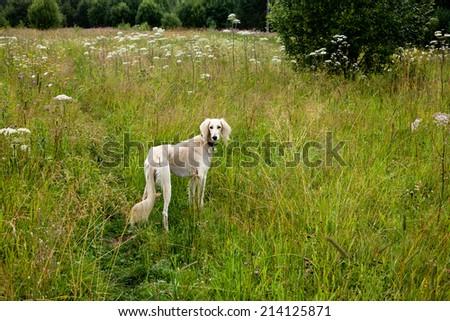 A standing white saluki in green grass  - stock photo