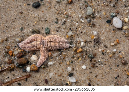 A starfish (Asterias rubens) is found on Cape Cod as the tide quickly recedes. - stock photo
