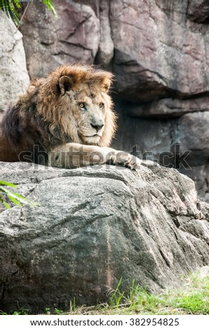 A staring lion under the afternoon sunlight - stock photo