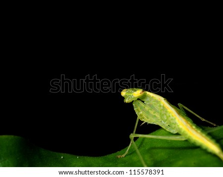 A staring mantis - stock photo