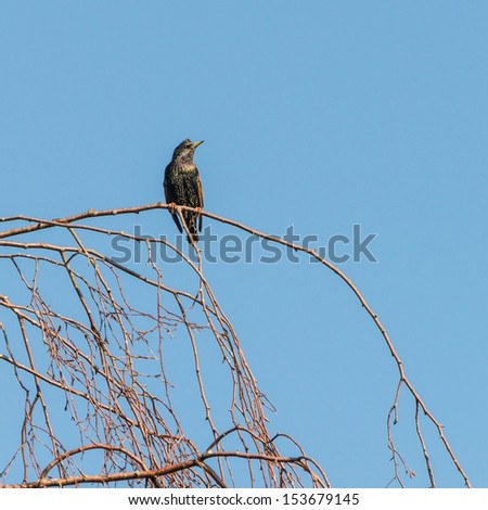 A starling sits in a tree. - stock photo
