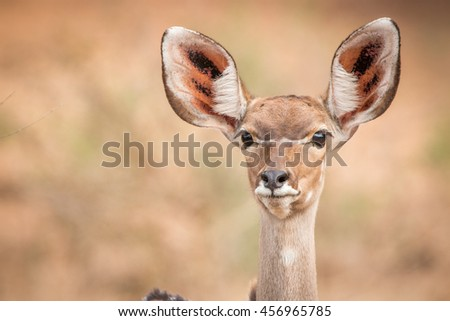 A Starring female Kudu in the Kruger National Park, South Africa.