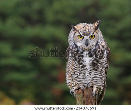 A startled Great Horned Owl (Bubo virginianus) sitting on a post.  - stock photo