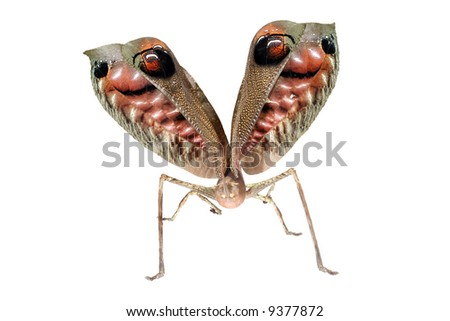 A startled leaf mimic katydid showing eyespots on wings - stock photo