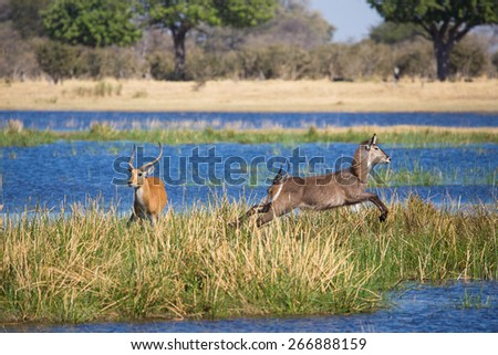 A startled waterbuck and red lechwe bound in opposite directions in the Okavango delta - stock photo