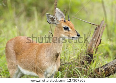 A steenbuck antelope in the south african bush. - stock photo