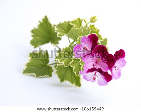 A  stem of pink and purple flowers from a bush. - stock photo