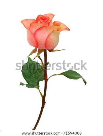 A stem pink rose on white - stock photo