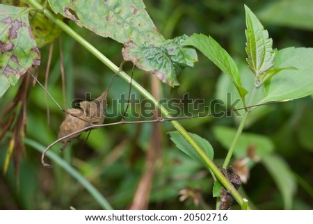 A stick insect in the bushes - stock photo