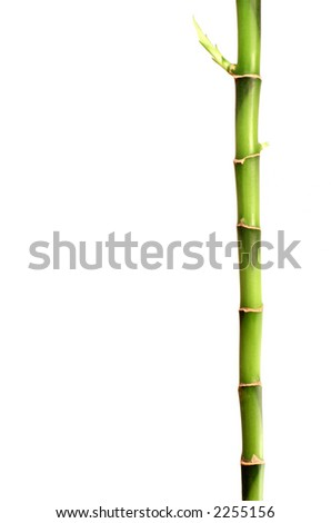 a stick of bamboo with a new shoot growing - Growing Bamboo