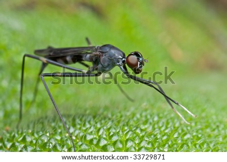 A stilt legged fly on green leaf