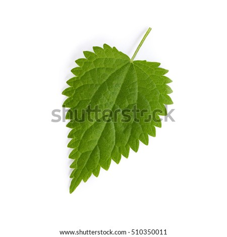 A stinging Nettle leaf isolated on white background. Urtica