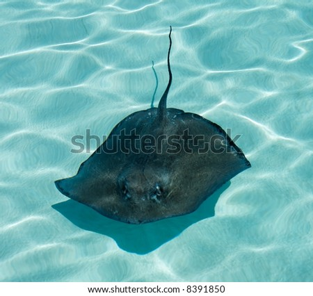 A stingray swimming in blue water - stock photo